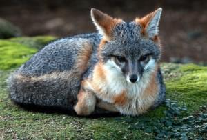 gray-fox-08